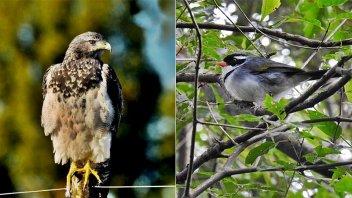 Por primera vez, captan en fotos a dos nuevas especies de aves en Concordia