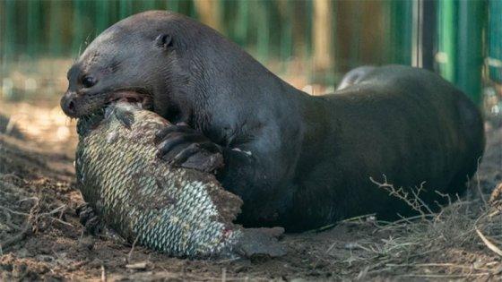 Introdujeron al parque Iberá de Corrientes una nutria gigante extinta en el país