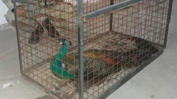 Rescataron un pavo real que había volado hasta la copa de un árbol: imágenes