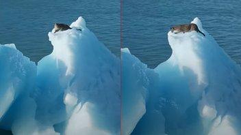 Un puma fue fotografiado y filmado sobre un iceberg en el sur argentino