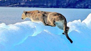 Final feliz: revelan cómo terminó la historia del puma filmado sobre un iceberg