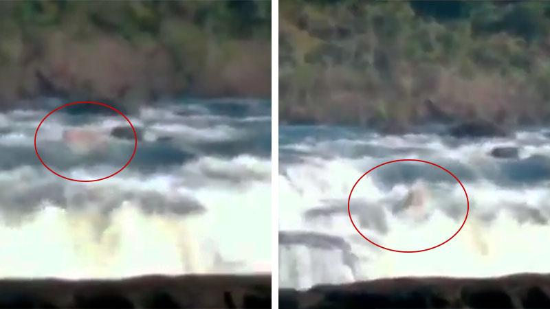 Un yaguareté fue filmado cuando atravesaba los Saltos del Moconá