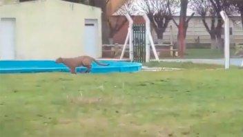 Video: un puma tuvo en vilo durante varias horas a una comunidad santafesina