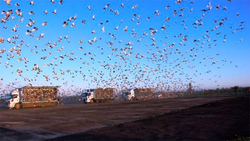 Soltaron más de 20 mil palomas que regresan a sus palomares.
