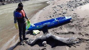 Encontraron tres cóndores muertos por ingesta de agroquímicos