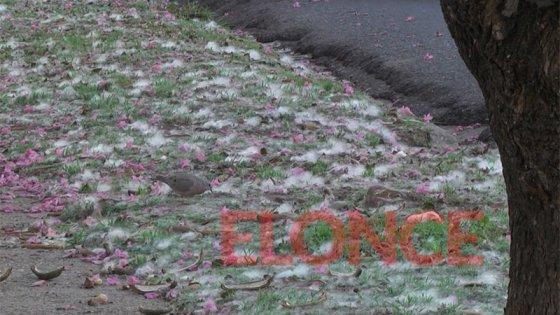 Veredas cubiertas con alfombras de algodón: brotan Palos Borrachos en Paraná