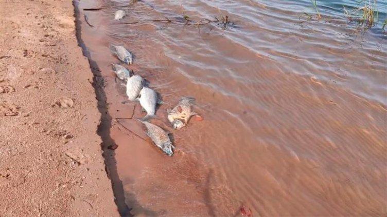Investigan a qué se debió la aparición de peces muertos en el río Paraná: fotos